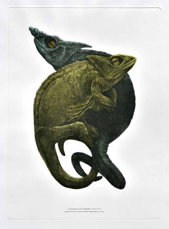 Chamaleo parsonii Cuvier, 2016