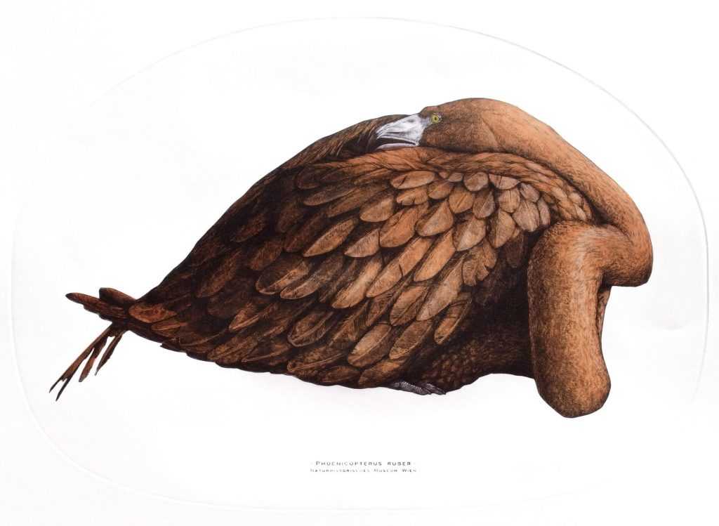 Phoenicopterus rube, 2019